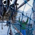 Norway_Lyngen_Ice_stockfish_BPurner_02